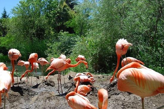 flamingo birds grazing birds