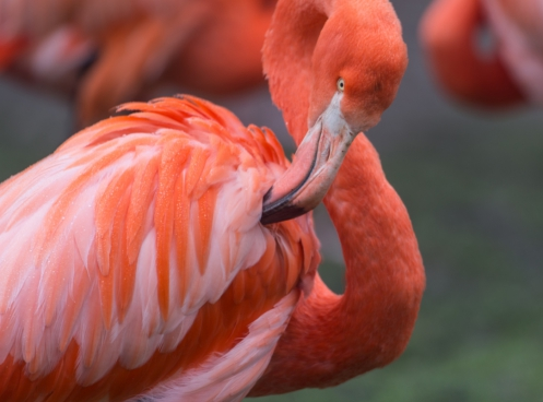 closeup of beautiful wild flamingo in nature