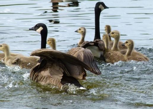 fleeing canada geese brood