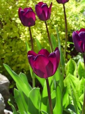 fleure tulip spring