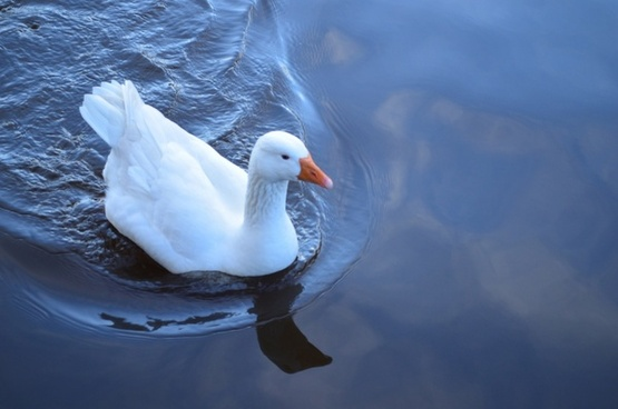 floating goose