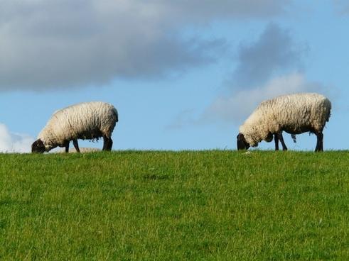 flock of sheep sheep pair