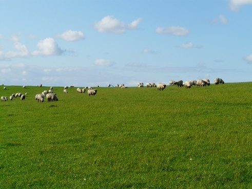 flock of sheep sheep rh�n sheep