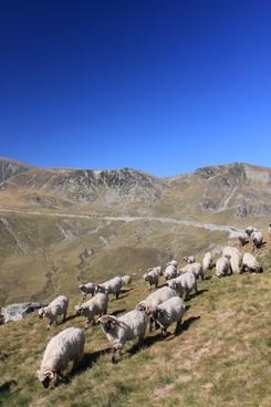 flock sheep mountain