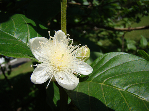 flor de goiabeira guava psidium guajava brazil amp latin america native tree