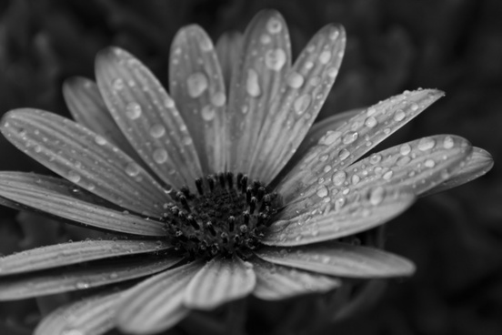 Black And White Pictures Of Flower