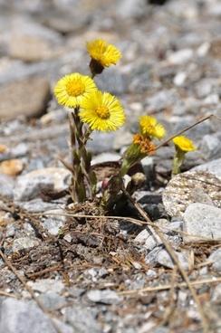 flower alpine alpine flower