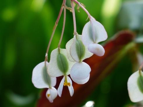 flower begonia white