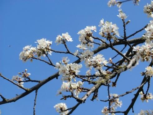 flower blossom white