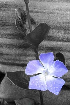 flower blue black