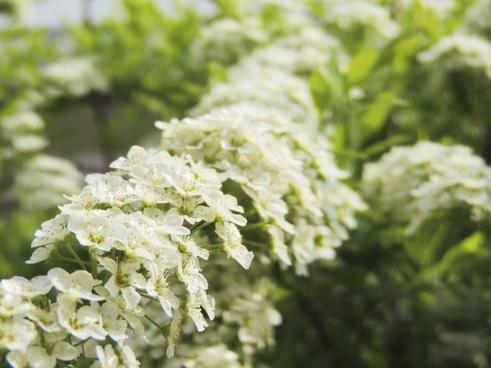 flower bush white