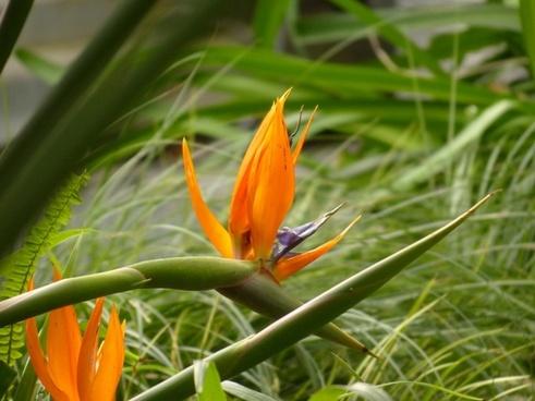 flower caudata exotic