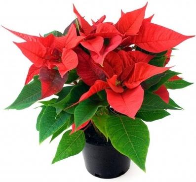 flower christmas xmas