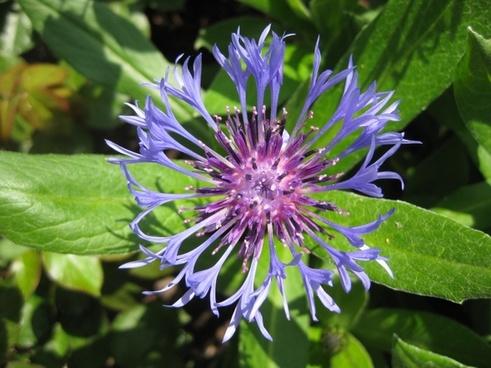flower cornflower summer