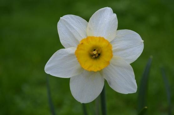 flower dafodill spring flower