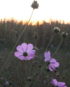 flower dawn awakening
