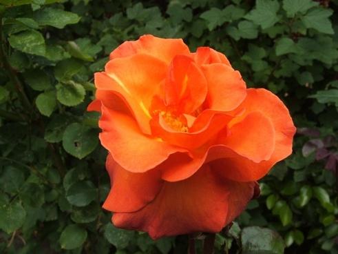 flower flowers orange flower