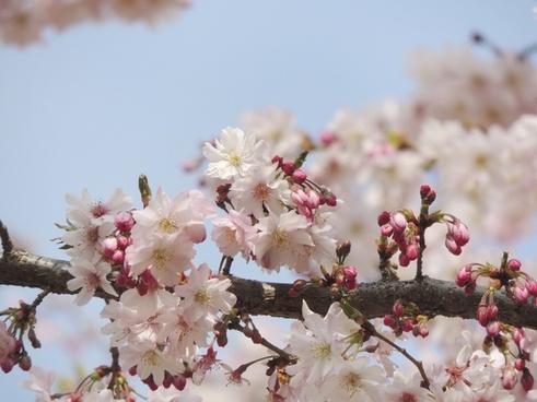 flower fruegling pink