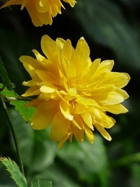 flower kerrie yellow