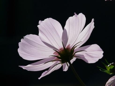 flower light pink cosmea