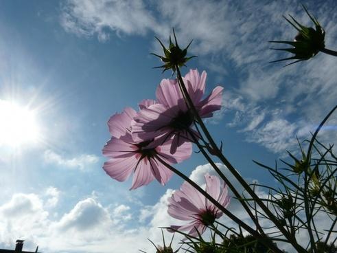 flower light pink translucent