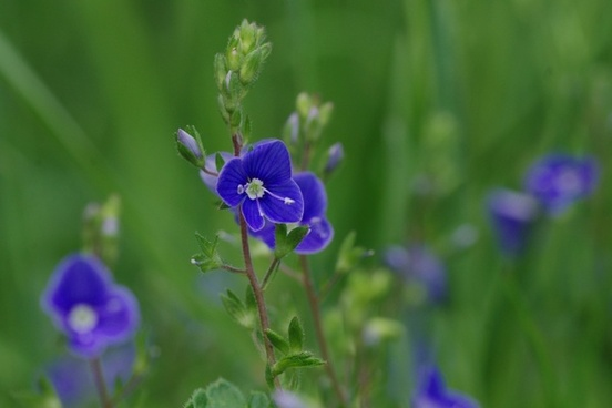 flower macro blue