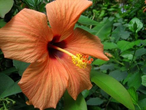 flower nature hibiscus