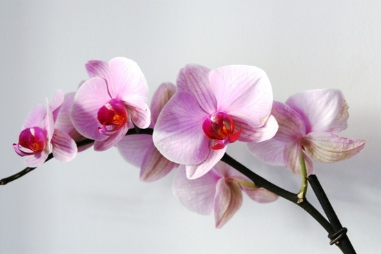 flower orchid pink