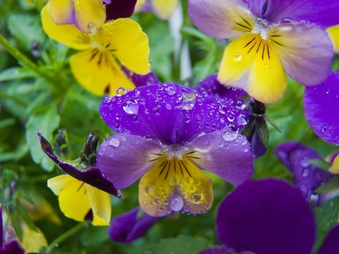 flower pansy drip
