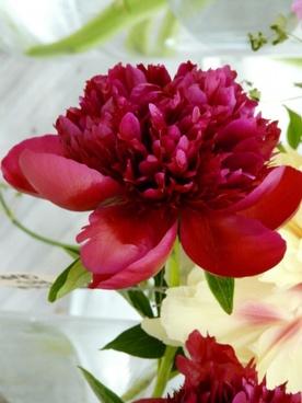 flower peony red
