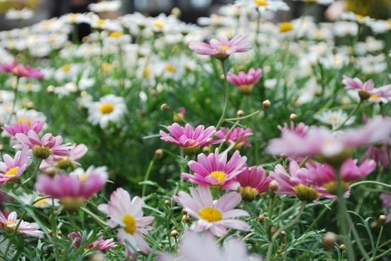 flower pink flowers