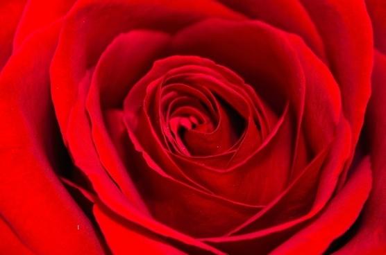flower plants rose