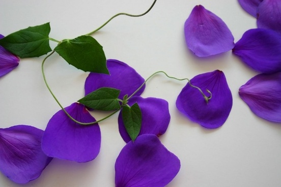flower purple vine