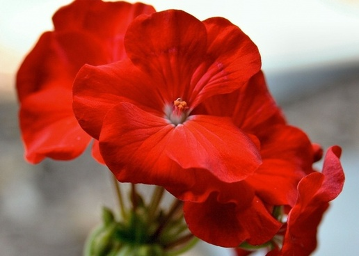 flower red geranium