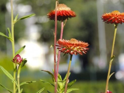 flower red italicum