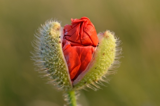 flower red poppy