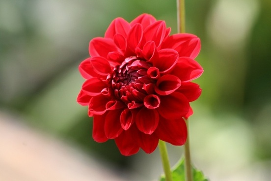flower red red bloom
