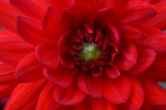 flower red summer
