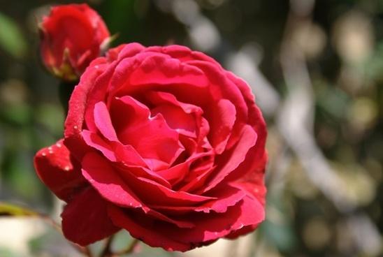 flower rosa red