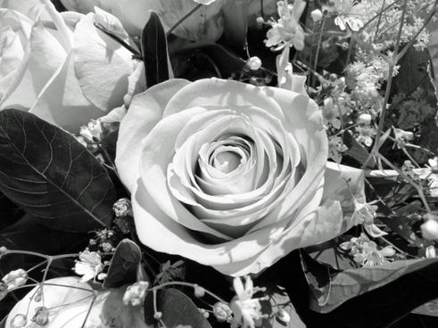 flower rose black and white