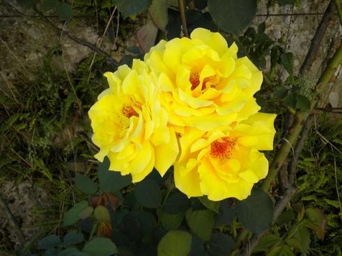 flower rose yellow rose