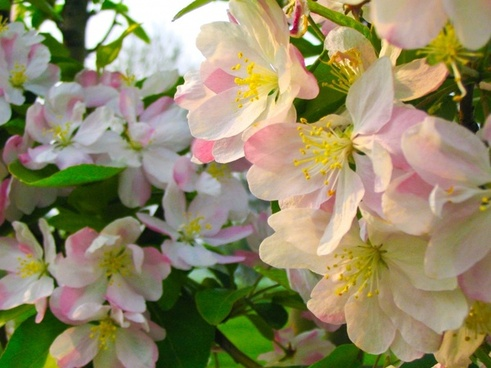 flower 。 spring pink ,。 beautiful