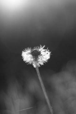 flower the dandelion the black and white