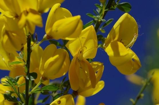 flower yellow broom