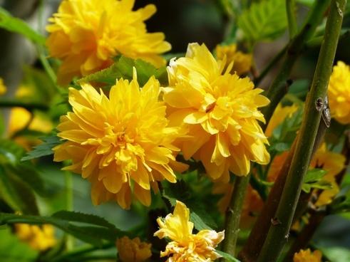 flower yellow bush