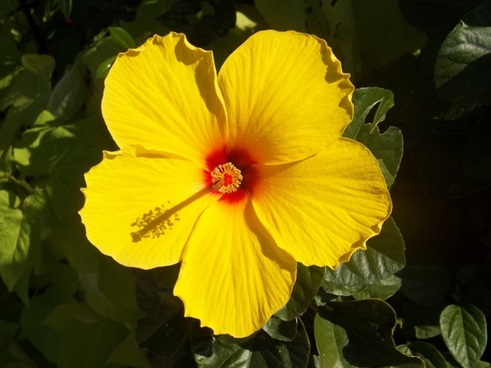 flower yellow flower hibiscus