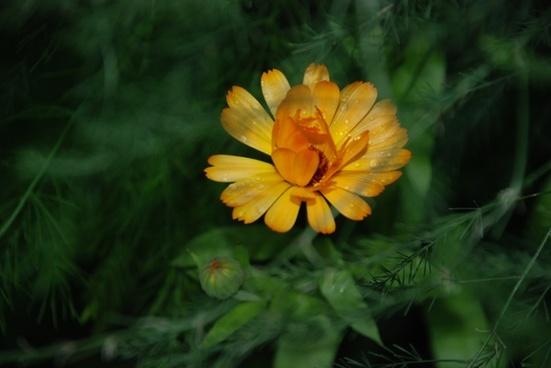 flower yellow rose