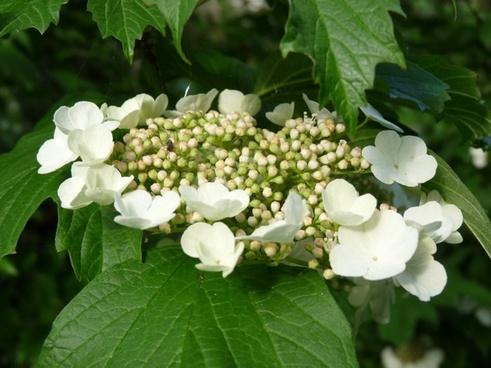 flowering hydrangea white