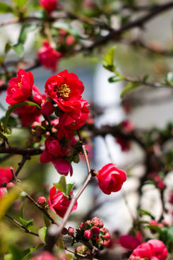 flowering quince matsudo chiba japan