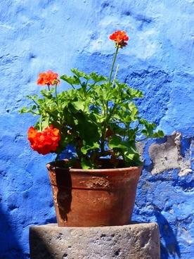 flowerpot plant geranium